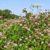 Rośliny pastewne cz. 52