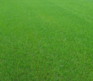 Kostrzewa łąkowa