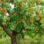 Zalety drzew owocowych krzaczastych