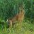 Zające, króliki i myszy jako szkodniki drzew
