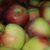 Dobór odmian przydatnych do zakładania sadów krzaczastych