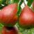 Odmiany jesienne gruszek