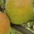 Dobór handlowy jabłek